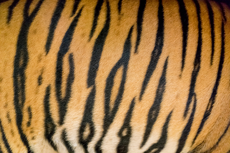 tiger skin: background texture of real bengal tiger skin Stock Photo