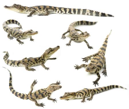 alligators: young siamese crocodile isolated on white background Stock Photo
