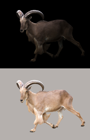 barbary: barbary sheep in the dark and barbary sheep isolated