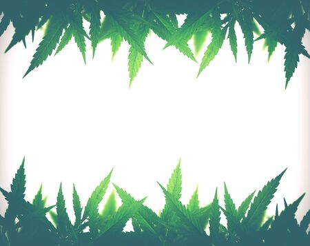 Bright green cannabis sativa leaf frame isolated on white background