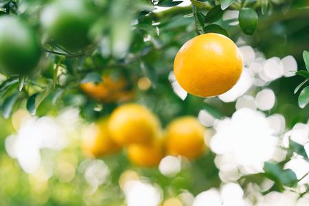 fresh orange fruit hanging on orange tree