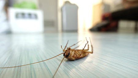Dead cockroach on the floor after being hit by pesticides