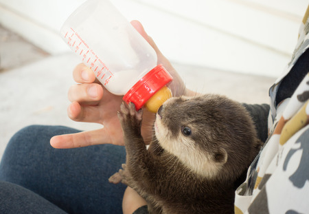 zookeeper feeding baby otter  with milk replacer Stock Photo