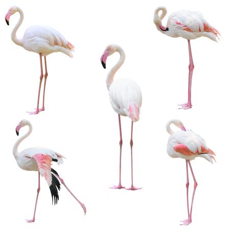 greater flamingo (Phoenicopterus roseus) isolated on white background Stock Photo