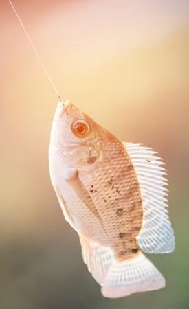 Nile tilapia fish  (Oreochromis nilotica) hanging on hook with flare light