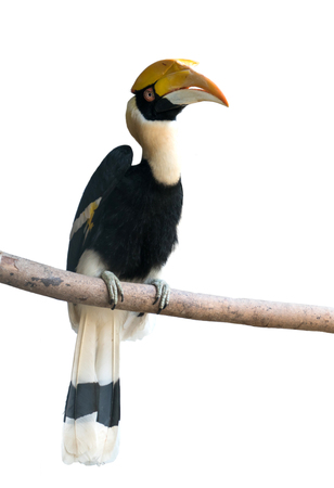 Great hornbill (Buceros bicornis) isolated on white background