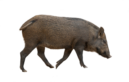 Asian wild boar isolated on white background