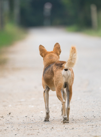 Domestic Thai dog standing at the road