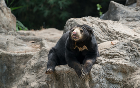 malayan sunbear (helarctos malayanus) resting in zoo Stock Photo