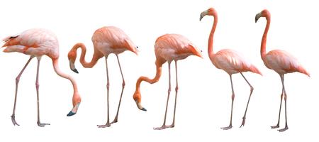 Mooie flamingovogel die op witte achtergrond wordt geïsoleerd