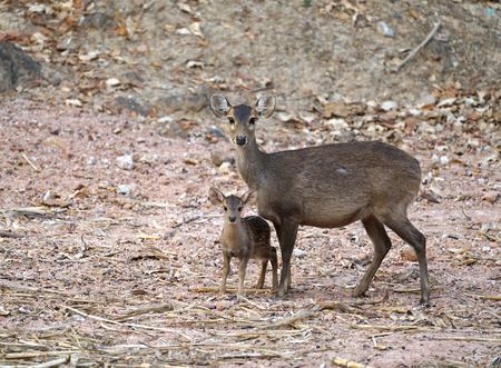 female and young hog deer ( Hyelaphus porcinus )