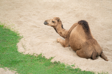 dromedary camel lying and resting on sand