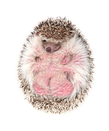 african pygmy hedgehog isolated on white background