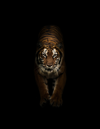 bengal tiger in the dark background