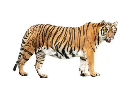 tygrys bengalski na białym tle