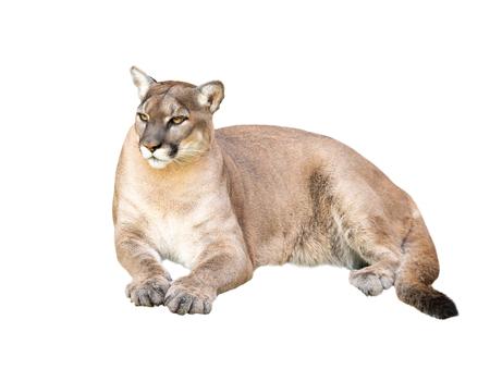 pima o cougar isolato su sfondo bianco Archivio Fotografico
