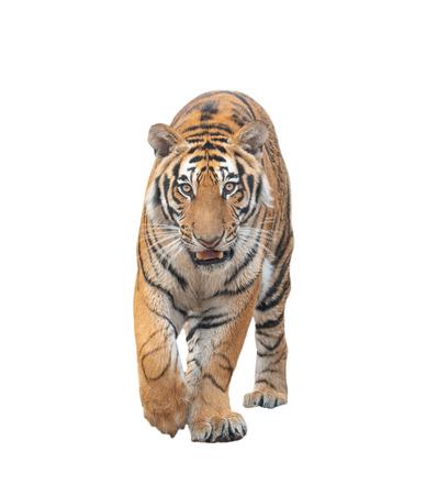 tigre de bengala, aislado, blanco, plano de fondo