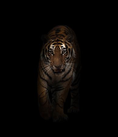 tigre de bengala en el fondo oscuro