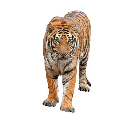 bengal tiger isolated on white background 免版税图像