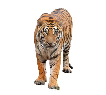 tigre de bengala, aislado, blanco, plano de fondo Foto de archivo