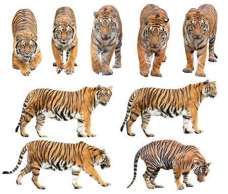 Tigre de Bengala (Panthera tigris) aislado sobre fondo blanco.