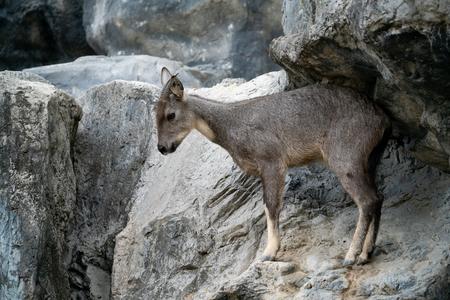 goral (Naemorhedus goral) standing on the rock Reklamní fotografie
