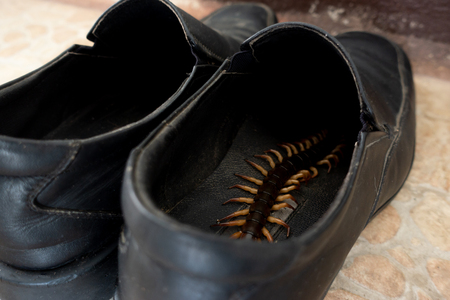 giant centipedes hiding in black ,leather shoes