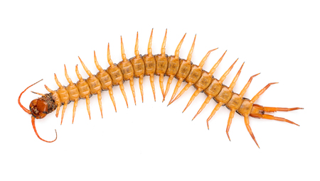 centipede or chilopoda isolated on white background Stock Photo