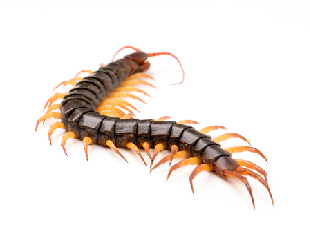 giant centipede or chilopoda on the cement floor