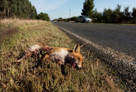 dingo was hit by a car in Australia.