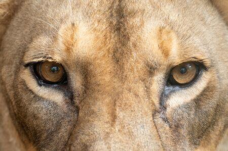 female african lion (Panthera leo) eyes close up