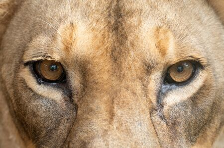 vrouwelijke Afrikaanse leeuw (Panthera leo) ogen close-up