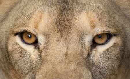 female african lion (Panthera leo) eyes close up Archivio Fotografico