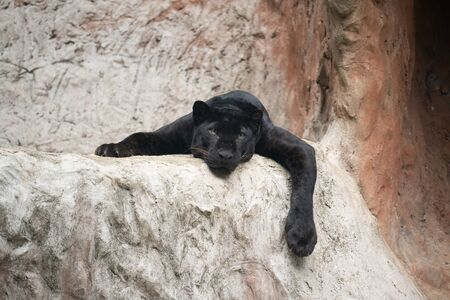 lazy black panther lay down on the rock