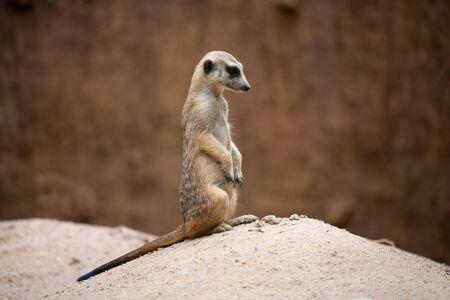 cute meerkat ( Suricata suricatta ) standing on the rock