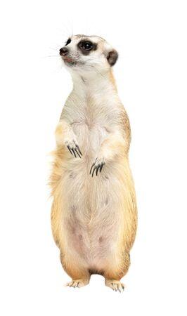 cute meerkat ( Suricata suricatta ) isolated on white background