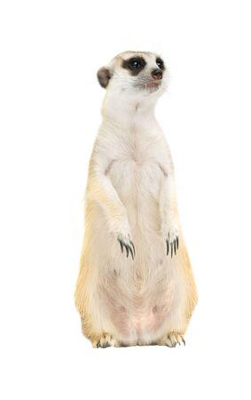 cute meerkat ( Suricata suricatta ) isolated on white background Foto de archivo
