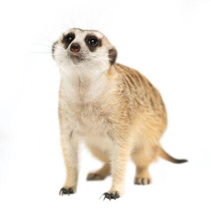 Cute meerkat (Suricata suricatta) aislado sobre fondo blanco.