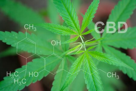 Marijuana in pod with cbd thc chemical structure