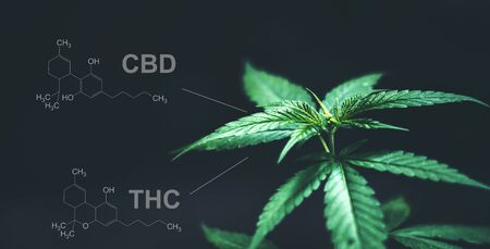 Marijuana leaves with cbd thc chemical structure