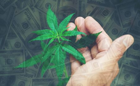 hand hold young cannabis tree with dollar banknote in background
