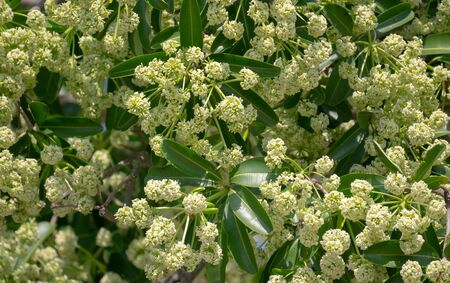 Devil tree or blackboard Tree ( Alstonia scholaris ) with flowers have a pungent smell 写真素材