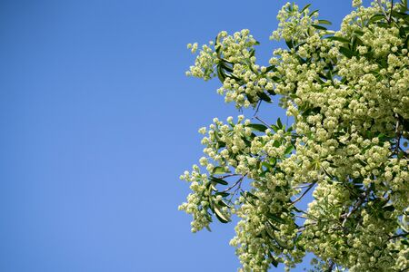 Devil tree or blackboard Tree ( Alstonia scholaris ) with flowers have a pungent smell Фото со стока