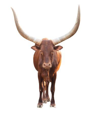 female ankole watusi isolated on white background