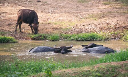 water buffalo resting in mud pond Фото со стока