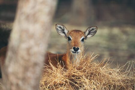 young red lechwe standing behind dry grass Фото со стока
