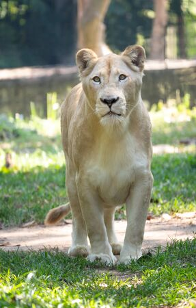 female white lion walking on grass in captive environment