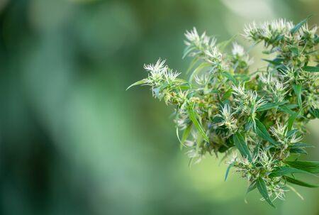 marijuana (Cannabis sativa) flowering ready to harvest