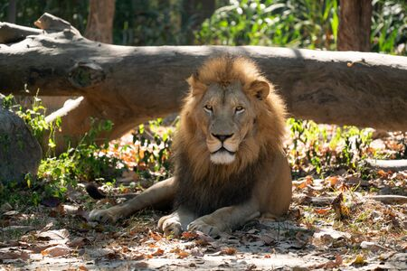 male lion resting in captive environment