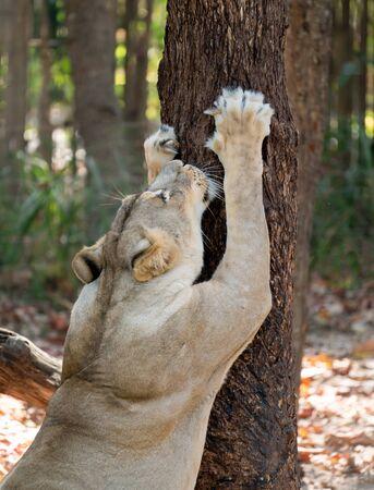 female white lion scratching tree bark